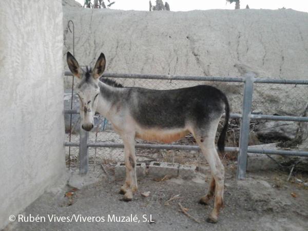 VIVEROS MUZALÉ Y ACUDE COLABORAN EN LA CONSERVACIÓN DEL BURRO ANDALUZ